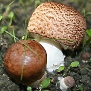 agaricus-blazei